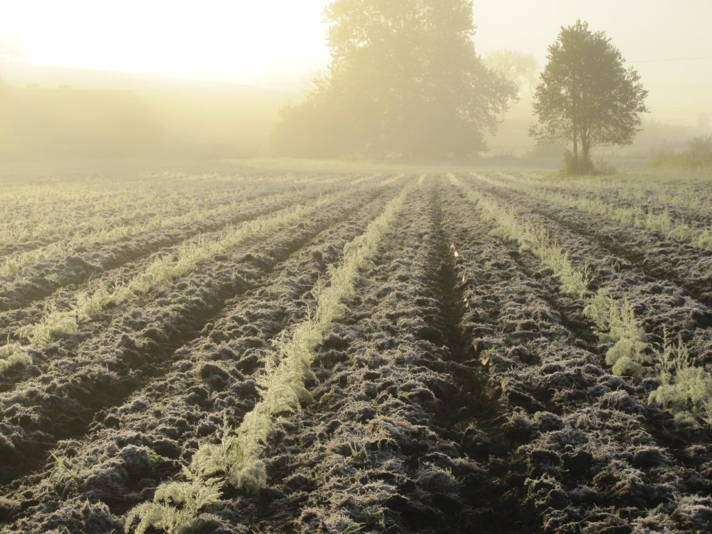 Frost on young asparagus plants - Fall 2012