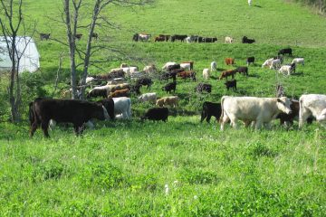 cattle 0938